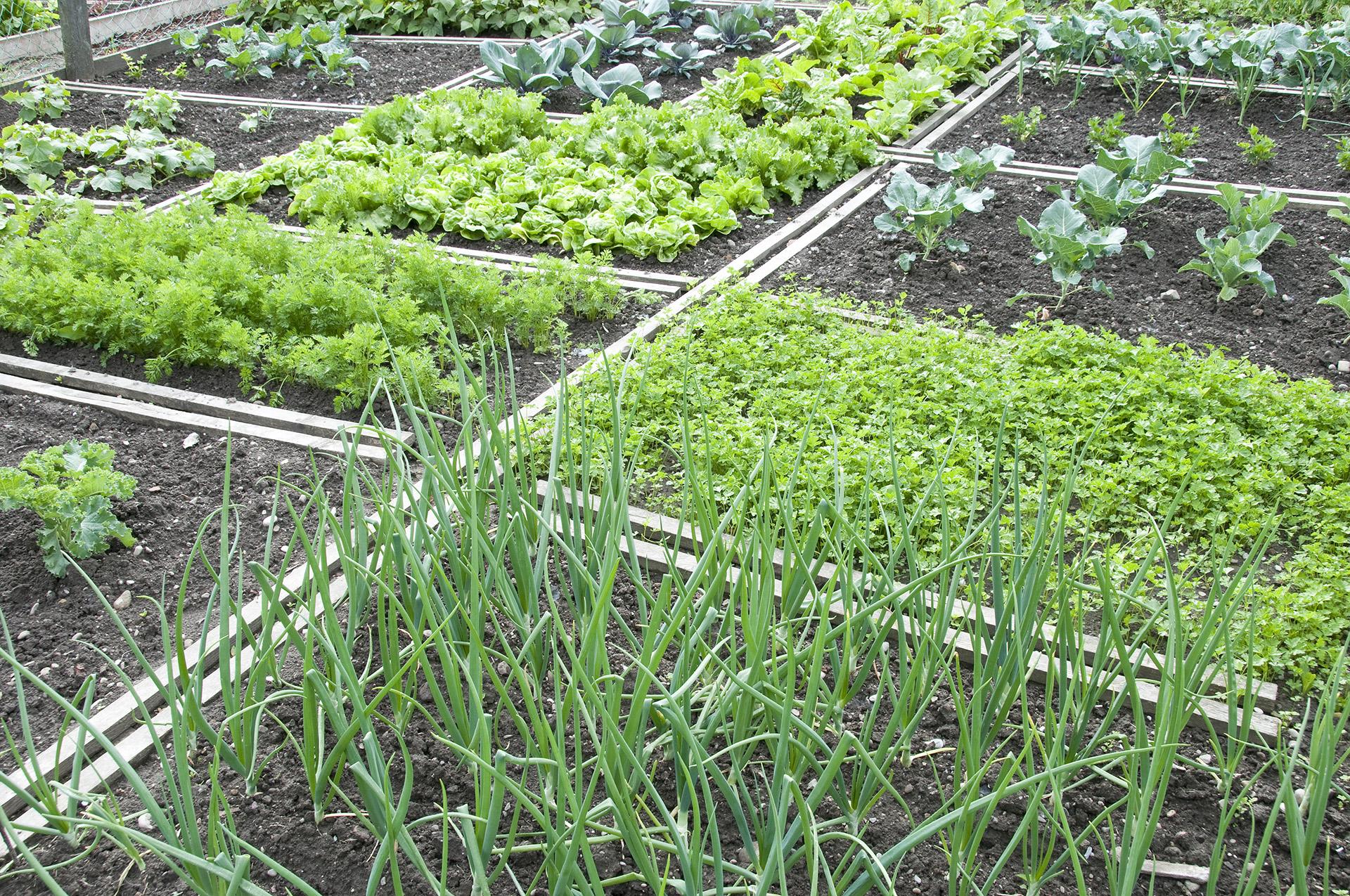 Соседство овощей на грядках: что с чем можно сажать 54